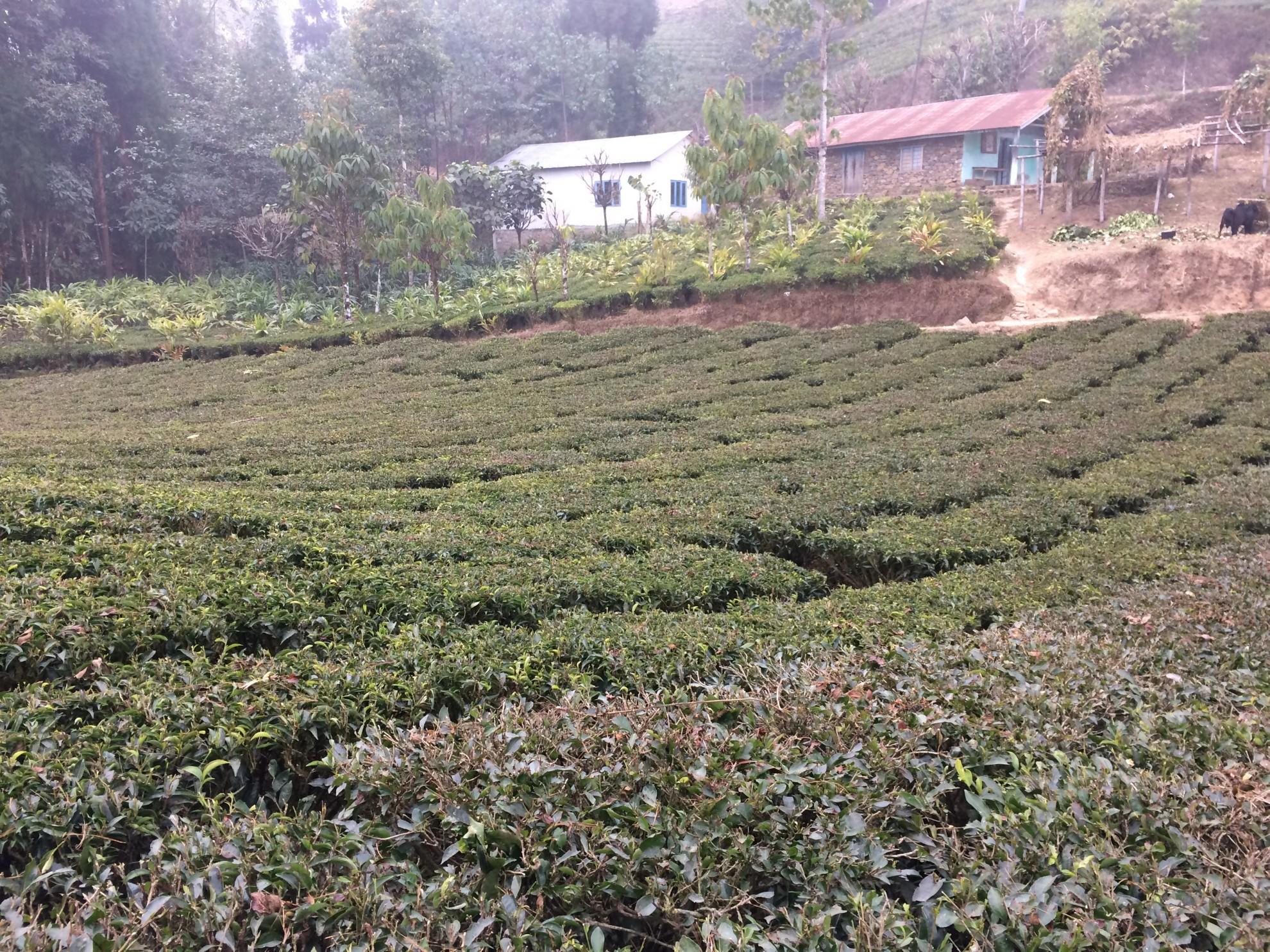 Big blue tea factories - Agriterra
